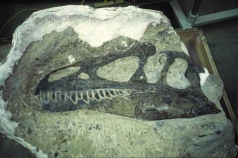 Fossil allosaurus skull at Dinosaur National Monument