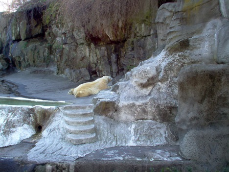 Polar Bear at Bronx Zoo