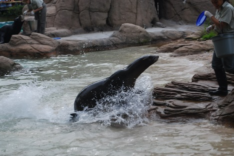 Californian Sea Lion at Bronx Zoo