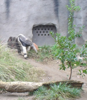 Anteaters at Sacramento Zoo